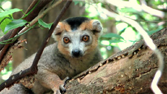 Male Crowned Lemur, Ankárana Special Reserve