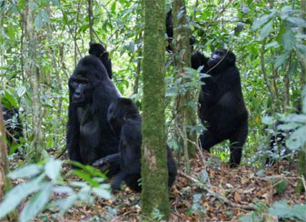 Group of Mountain Gorillas, Bwindi