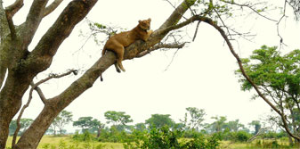 Tree-climbing lions at Queen Elizabeth National Park